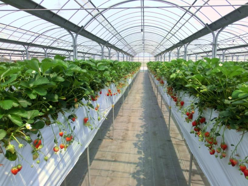 仮設トイレイチゴ農園